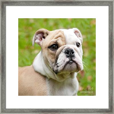 English Bulldog Puppy Framed Print by Natalie Kinnear
