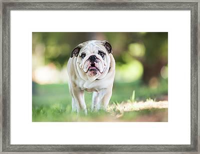 English Bulldog Puppy Walking Outdoors Framed Print by Purple Collar Pet Photography