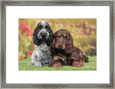 English Cocker Spaniel Puppies Framed Print by Jean-Michel Labat