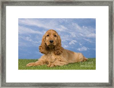 English Cocker Spaniel Puppy Framed Print by Jean-Michel Labat