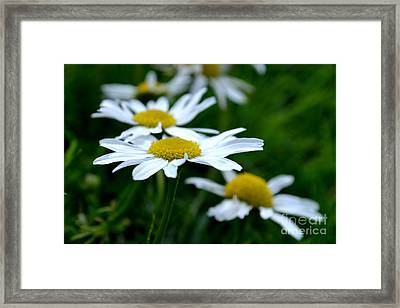 Framed Print featuring the photograph English Daisies by Scott Lyons