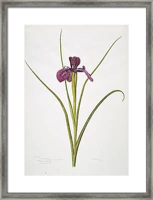 English Iris Flower, 20th Century Framed Print