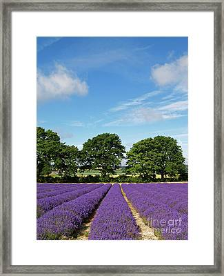 English Lavender Fields Near Selborne Hampshire Framed Print by Alex Cassels