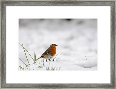English Robin Framed Print by Ivelin Donchev