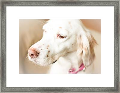 English Setter In Natural Light Framed Print by Brian Caldwell