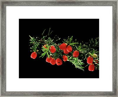 English Yew (taxus Baccata) Berries Framed Print