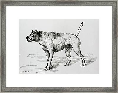Engraving Of An Aggressive Dog Framed Print by Science Photo Library