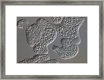 Entamoeba Histolytica Protozoa Framed Print by Sinclair Stammers