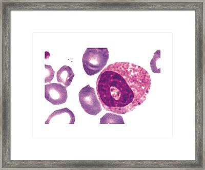Eosinophil Blood Cell Framed Print