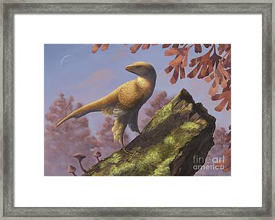 Eosinopteryx Brevipenna Perched Framed Print by Emily Willoughby