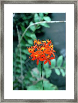 Epidendrum Ibaguense. Framed Print by Science Photo Library