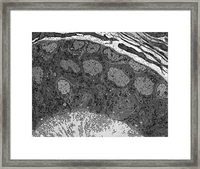 Epididymis Epithelium, Tem Framed Print by Science Photo Library