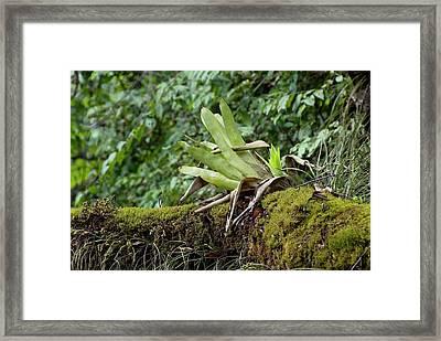 Epiphytic Bromeliad Framed Print