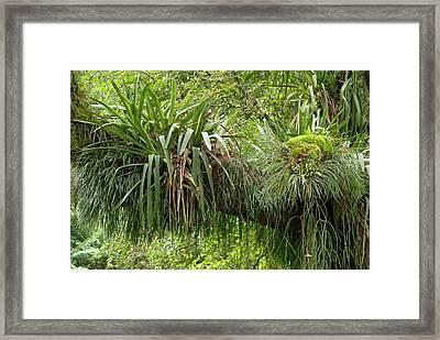 Epiphytic Bromeliads Framed Print