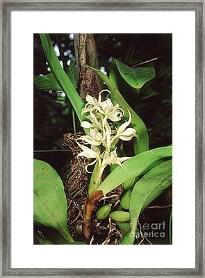 Epiphytic Orchid Framed Print