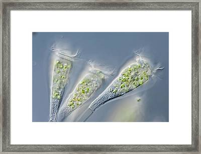 Epistylis Sp. Hypotriche Ciliates Framed Print by Gerd Guenther