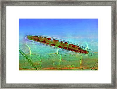 Epithemia Diatom Framed Print