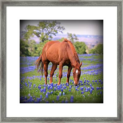 Equine Bluebonnets Framed Print by Stephen Stookey