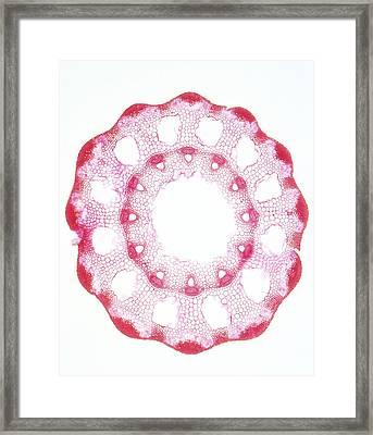 Equisetum Sp. Stem Framed Print by Dorling Kindersley/uig