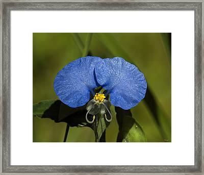 Erect Dayflower  Commelina Erecta Dsmf096 Framed Print