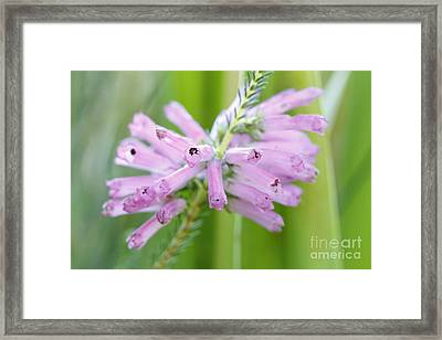 Erica Framed Print by Neil Overy