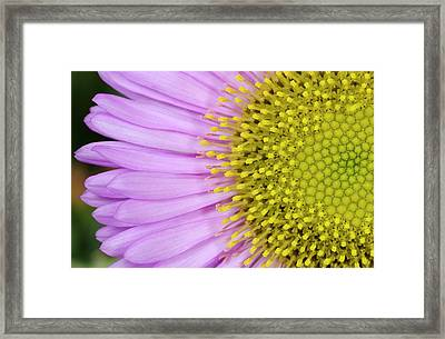 Erigeron 'sea Breeze' Abstract Framed Print
