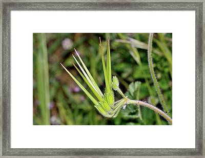 Erodium Moschatum Flowers And Fruits Framed Print