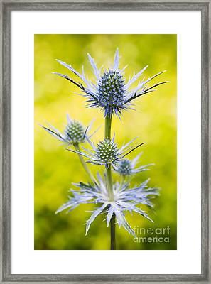 Eryngium X Oliverianum Framed Print by Tim Gainey