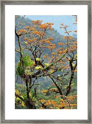 Erythrina Poeppigiana Tree And Epiphytes Framed Print