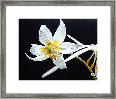 Erythronium Californicum  Fawn-lily Framed Print by Janet Ashworth
