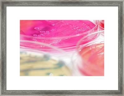 Escherichia Coli Bacteria Culture Framed Print