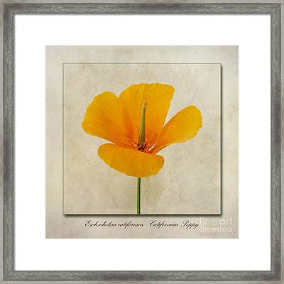 Eschscholzia Californica  Californian Poppy Framed Print by John Edwards