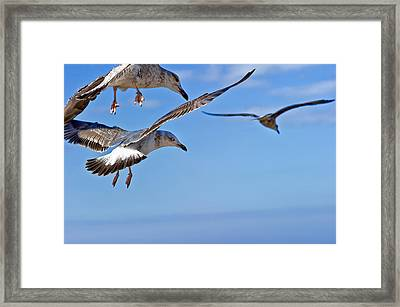 Essaouira Seagull Framed Print