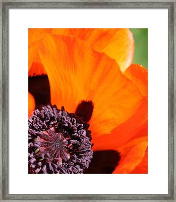 Essence Of Poppy Framed Print by  Andrea Lazar