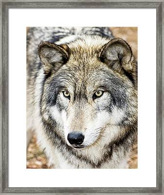 Essence Of Wolf Framed Print by Gary Slawsky