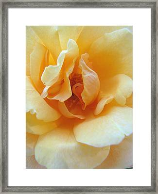 Lightness Of Being - Yellow Rose Macro -floral Art From The Garden Framed Print