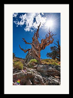Pine Tree Photographs Framed Prints