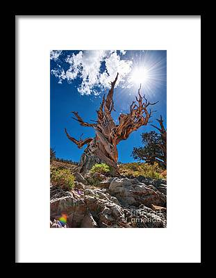 Pine Framed Prints