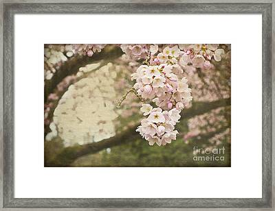 Ethereal Beauty Of Cherry Blossoms Framed Print by Maria Janicki
