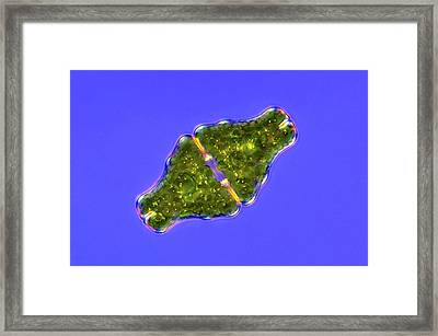 Euastrum Desmid Framed Print