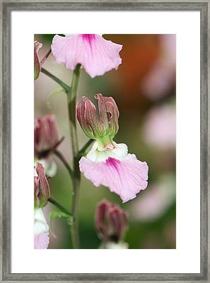 Eulophia Guineensis 'weymouth Bay' Framed Print by Science Photo Library