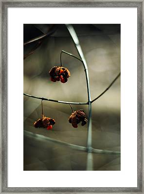 Euonymus Americanus  Winter Form Framed Print