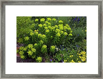 Euphorbia Flowers Framed Print by Bob Gibbons/science Photo Library