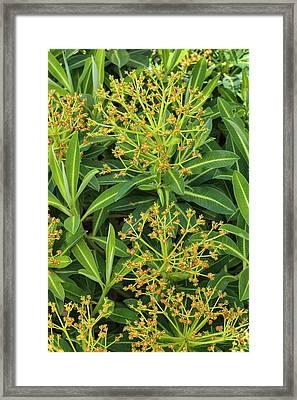 Euphorbia Stygiana Framed Print by Geoff Kidd