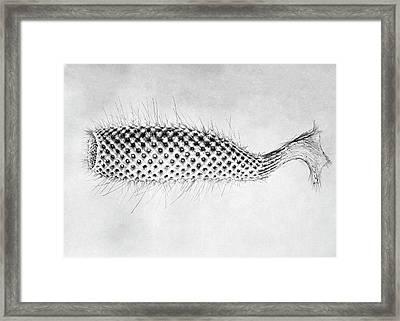 Euplectella Glass Sponge Framed Print