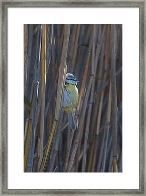 Framed Print featuring the photograph Eurasian Blue Tit - Parus Caeruleus by Jivko Nakev