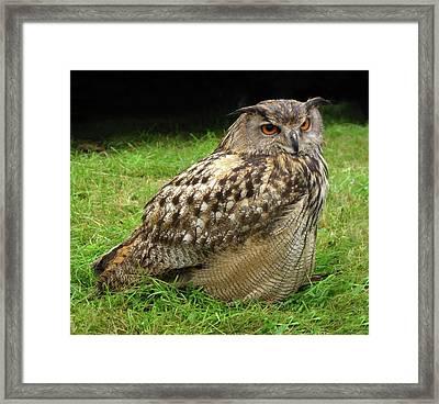 Eurasian Eagle-owl Framed Print by Cordelia Molloy