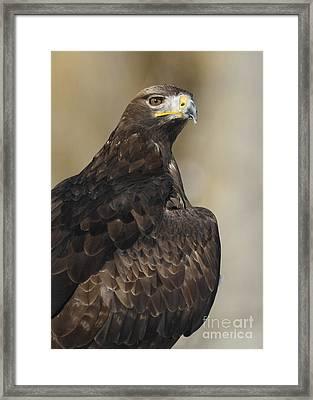 Eurasian Golden Eagle Preparing For Flight Framed Print by Inspired Nature Photography Fine Art Photography