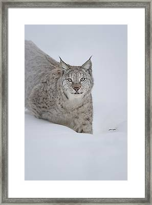 Eurasian Lynx Framed Print by Andy Astbury