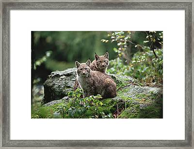 Eurasian Lynx Pair Europe Framed Print by Konrad Wothe